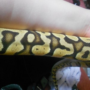 Galahad is a yellow Royal Python - it's called a Pastel morph